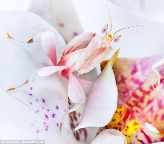 orchidmantis
