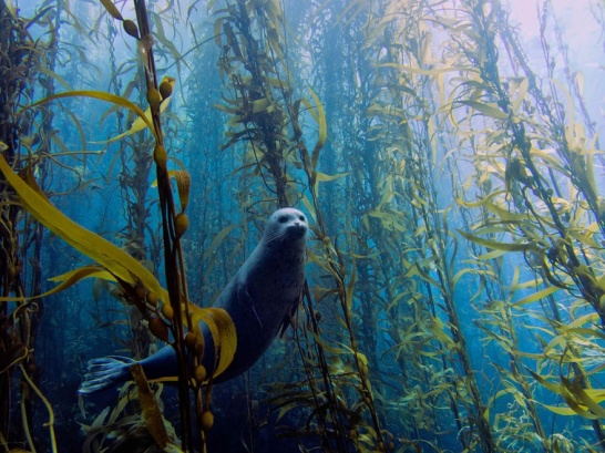 underwater-photography-1-harbor-seal-sea-kelp